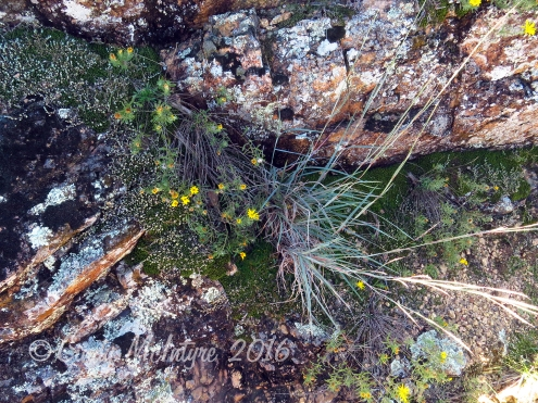 Lacy tansyaster and little bluestem with lichen rocks