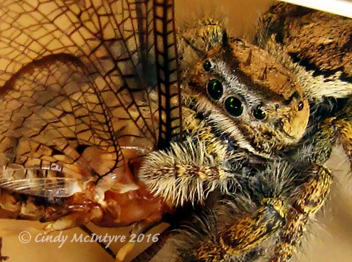 Jumping spider and mayfly