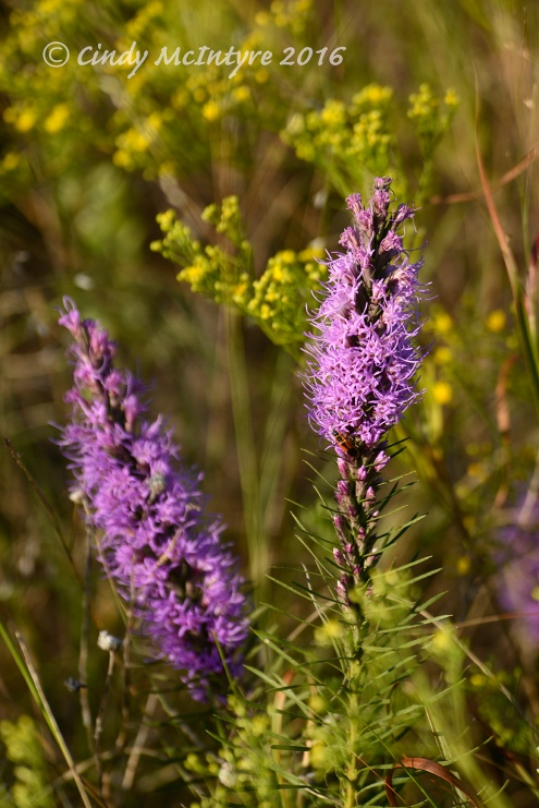 Liatris and broomweed