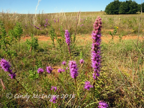 Liatris on Osage Lake trail