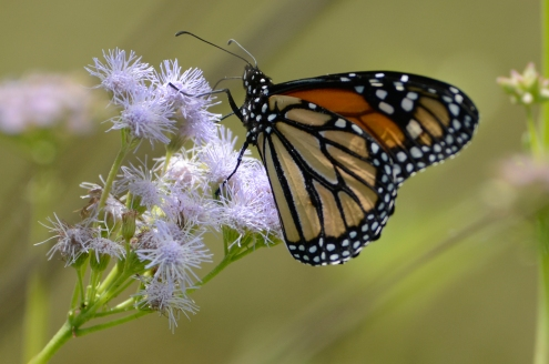 Female monarch on blue mist flower