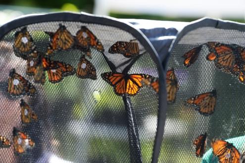 monarch-butterfly-festival-blanchard-ok-8-copy