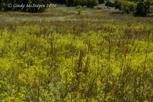 Broomweed looks best when it's backlit