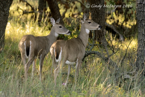 white-tail-deer-wichita-mts-ok-7-copy