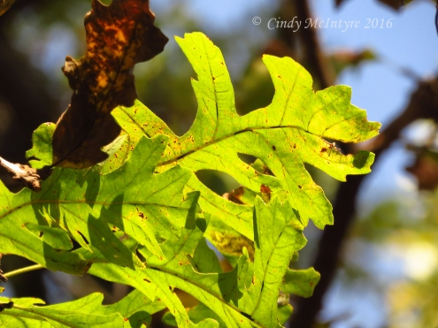 bur-oak-leaf-lawton-ok-4-copy