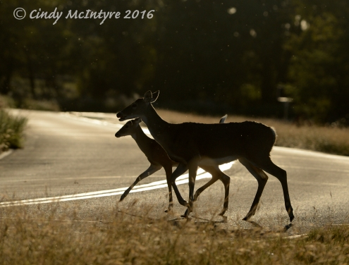 White tailed doe and fawn