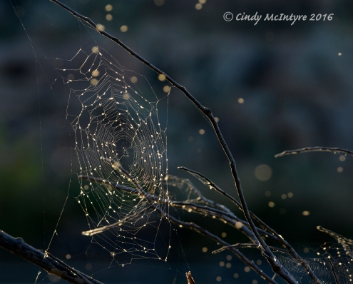 Orb spider web decorated with some floating seeds.