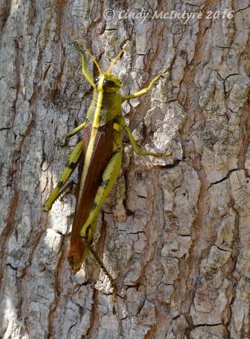 Big ole grasshopper