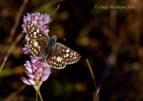 Common checkered skipper on Pennsylvania smartweed, Lake Wister State Park, OK