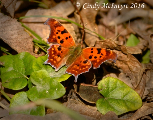 Question Mark butterfly