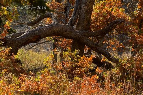 Caddo Maples, Wichita Mountains Wildlife Refuge, Okla.