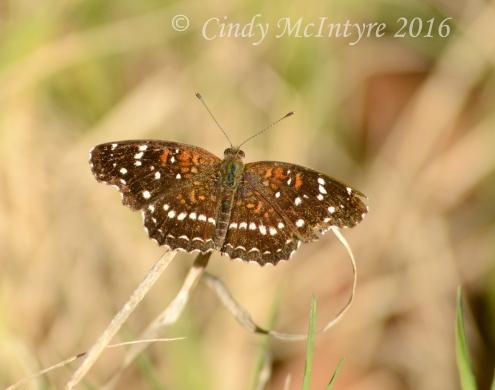 Texan crescent butterfly