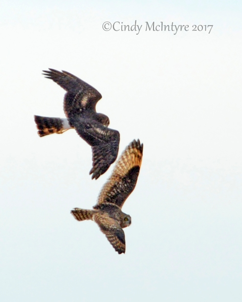 Northern harrier and short-eared owl