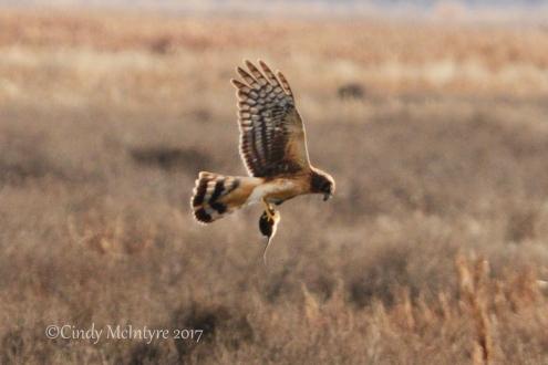 harrier-locating-prey-3