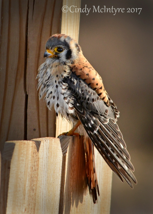 kestrel-male-hackberry-flats-ok-119-copy