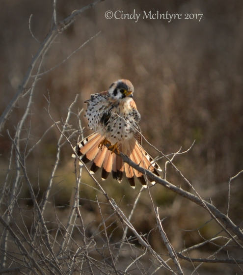 kestrel-male-hackberry-flats-ok-255-copy