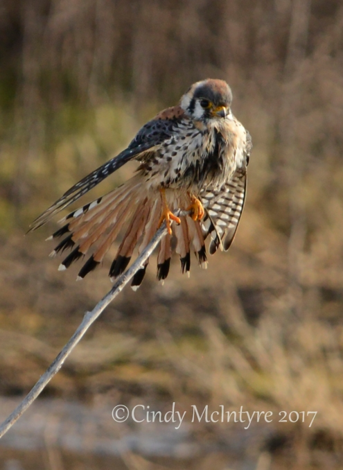 kestrel-male-hackberry-flats-ok-50-copy-2