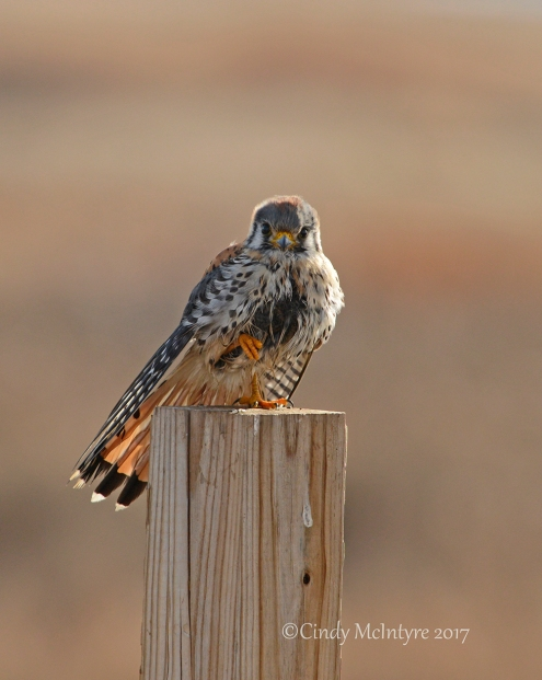 kestrel-male-hackberry-flats-ok-76-copy-2