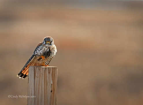 kestrel-male-hackberry-flats-ok-77-copy-2