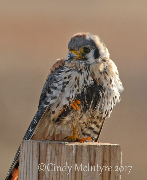 kestrel-male-hackberry-flats-ok-83-copy-2