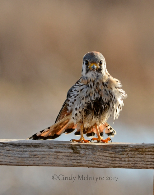 kestrel-male-hackberry-flats-ok-85-copy