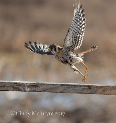 kestrel-male-hackberry-flats-ok-98-copy