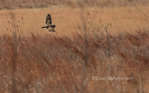 short-eared-owl-hackberry-flats-ok-4-copy