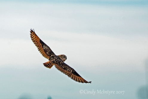 short-eared-owl-hackberry-flats-ok-6-copy-2