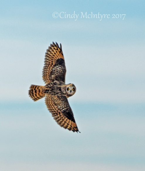 short-eared-owl-hackberry-flats-ok-8-copy-2