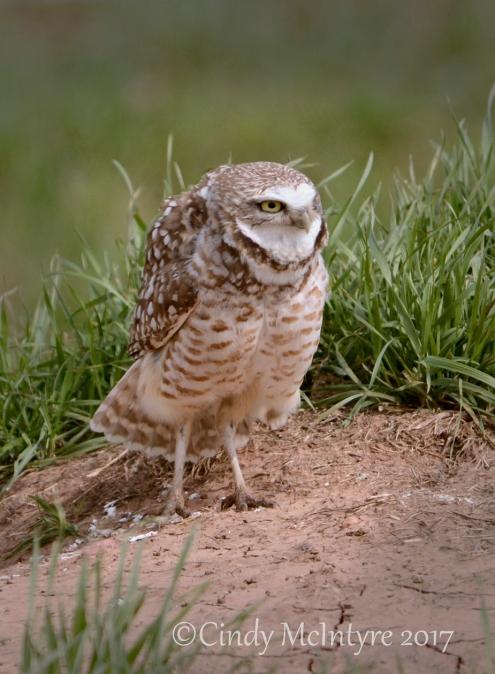 burrowing-owl-sw-ok-10-copy-2