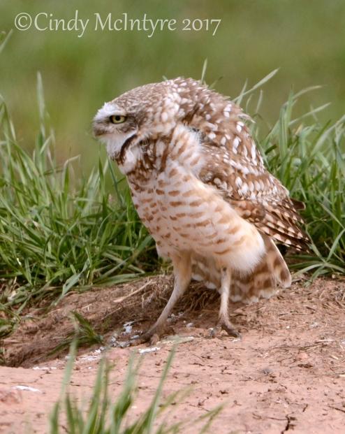 Burrowing Owl alarmed