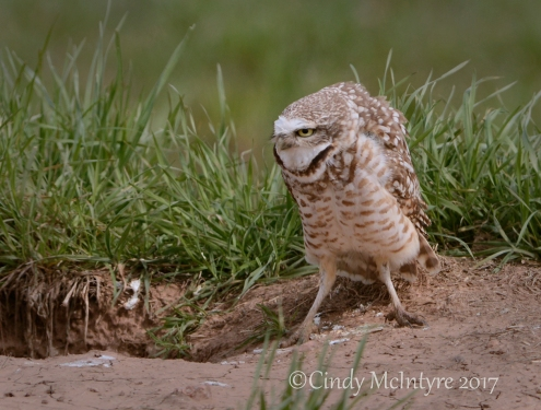 burrowing-owl-sw-ok-6-copy