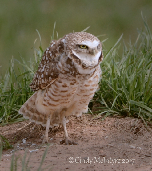 burrowing-owl-sw-ok-9-copy