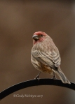 House Finch, male, Lawton OK (9)copy