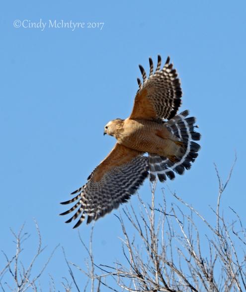 red-shouldered-hawk-wichita-mts-ok-1-copy-2