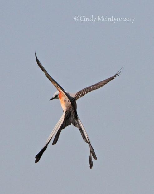 birds oklahoma cindy mcintyre s blog