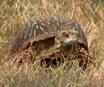 Ornate box turtle(2)