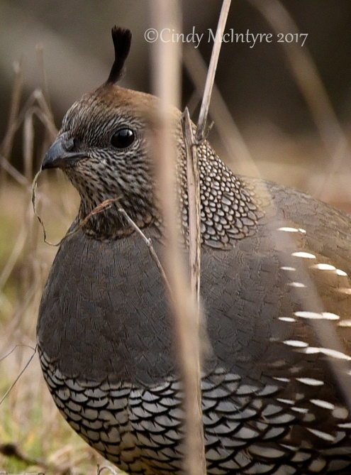 California Quail Female