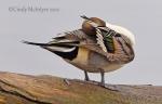 Pintail ducks, Colusa NWR,California