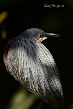 BC Nite Heron Blended copy