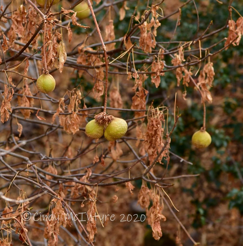 """California buckeye """"pears"""""""