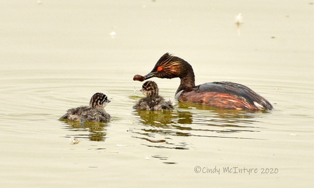 Eared grebe with chicks