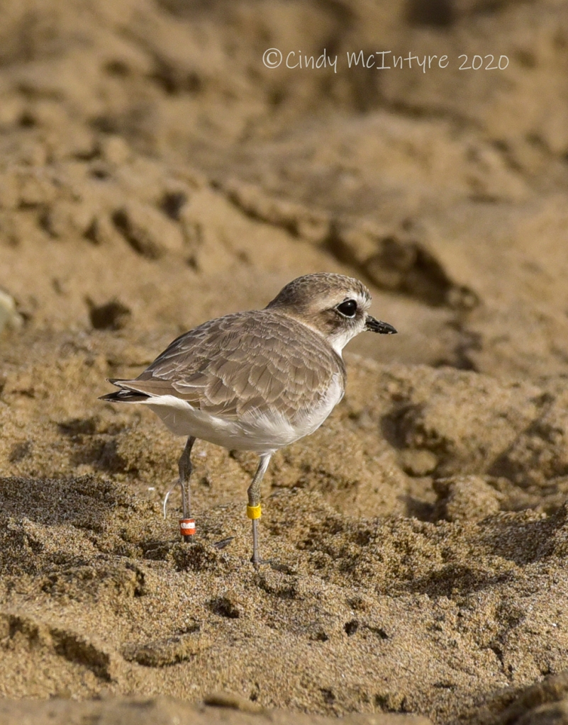 Snowy plover with bands