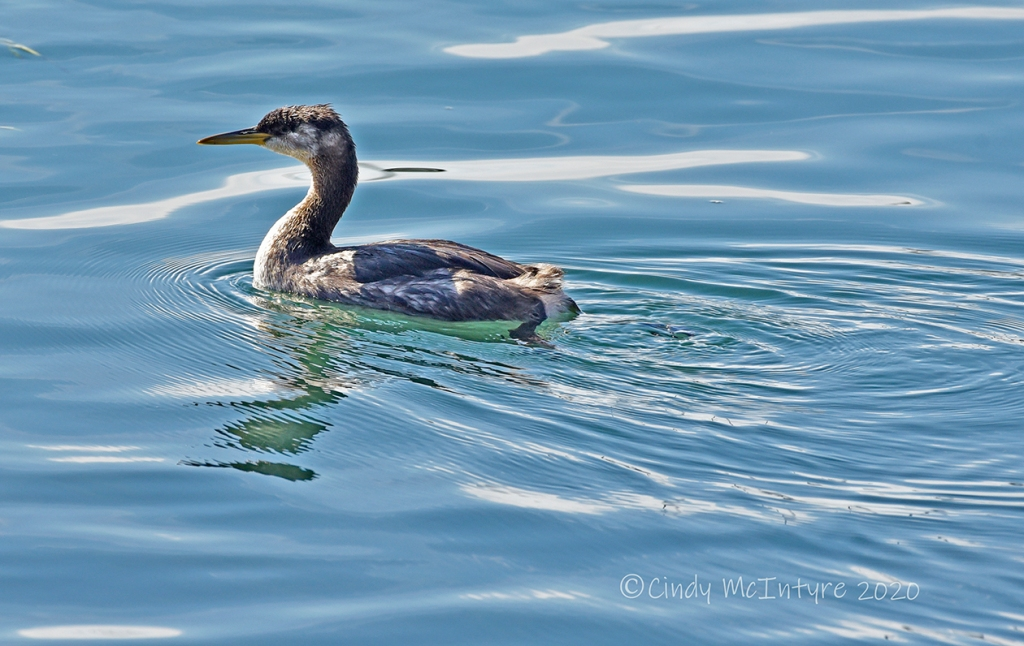 Red-necked grebe juvenile